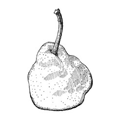 engraving of a pear vector image