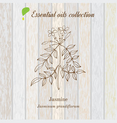 Jasmine essential oil label aromatic plant vector
