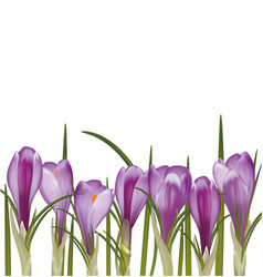 set of spring purple crocuses vector image