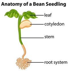 Anatomy of bean seedling on chart vector