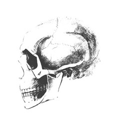 Traced skull sketch vector
