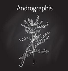 andrographis paniculata or king of bitters vector image