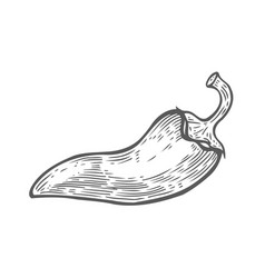 hand drawn chilly pepper vector image