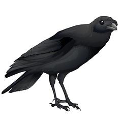 Corvus coronoides vector