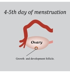 4-5 day of menstruation - the growth and vector