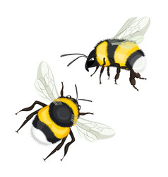 Two bumble bees with wings flying vector
