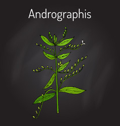Andrographis paniculata or king of bitters vector