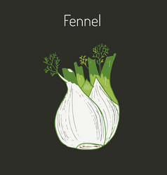 aromatic herbs collection - fennel vector image