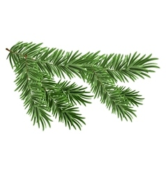 Green lush spruce branch fir branches vector