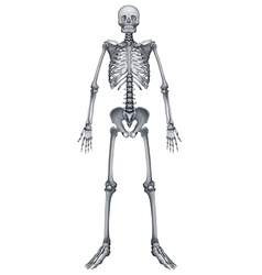 Human skeletal system vector image vector image