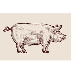 Sketch pig hand drawn vector