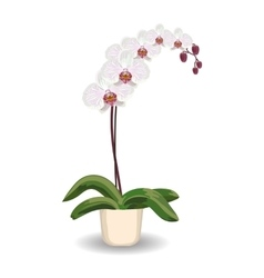 Orchid flowerpot on white background vector