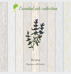 Hyssop essential oil label aromatic plant vector