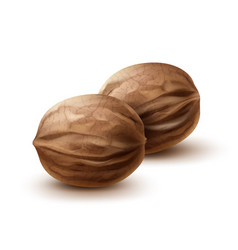 Two whole walnuts vector