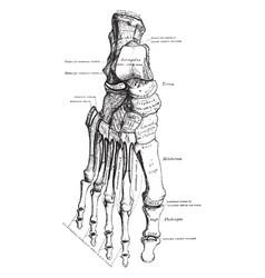 Foot bones vintage vector