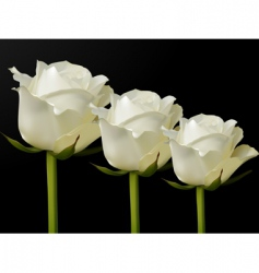 white roses vector image
