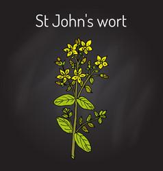 St john s wort hypericum perforatum medicinal vector