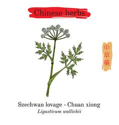 Medicinal herbs of china szechwan lovage vector