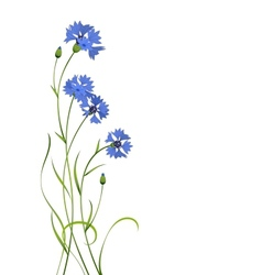 Cornflower bouquet vector