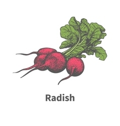 hand-drawn ripe red radish with green tops vector image