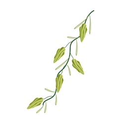 A fresh cardamom plant on white background vector