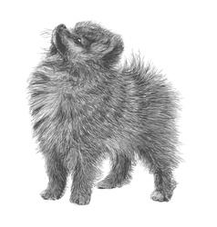 Pomeranian 02 vector