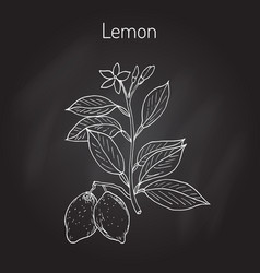 Hand drawn lemon branch vector