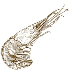 etching shrimp vector image