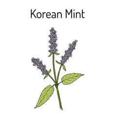 Korean mint agastache rugosa medicinal plant vector