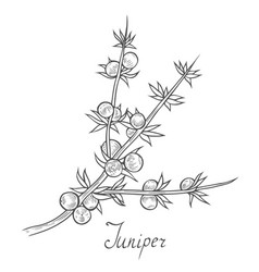 Juniper branch with berries vector