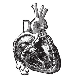 Cavities of the right side of the heart vintage vector