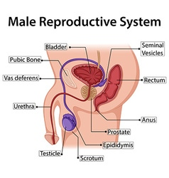 Diagram showing male reproductive system vector image
