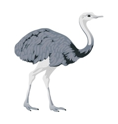 Ostrich bird detalised on white background in vector