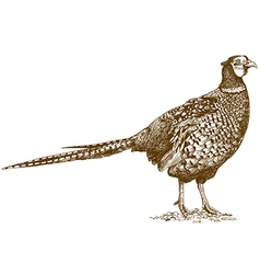 Engraving pheasant vector