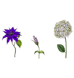 Set with phlox clematis and bud eustoma flowers vector
