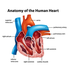 Human heart anatomy vector