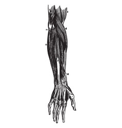 Muscles of the forearm vintage vector