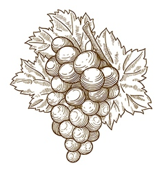 engraving grapes on the branch vector image vector image