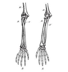Forearm bones vintage vector