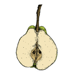 Hand drawn vintage of isolated pear on white vector