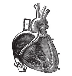 Right atrium and ventricle of the heart vintage vector