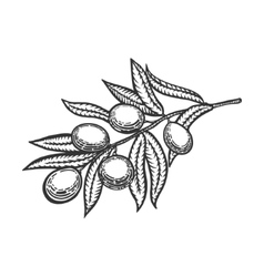 Olive branch engraving style vector