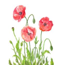 three garden poppies in watercolor composition of vector image