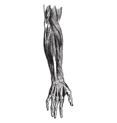 Back forearm muscles vintage vector