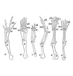 Forearms of vertebrates vintage vector