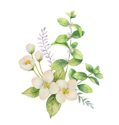 watercolor bouquet of jasmine and mint vector image