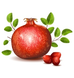 Pomegranate with leaves vector