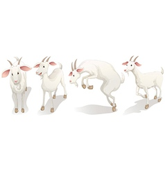 Four white goats vector