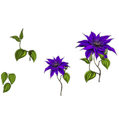 Set with clematis flowers leaves and stem vector