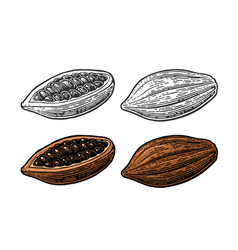 fruits of cocoa beans vintage engraved vector image vector image